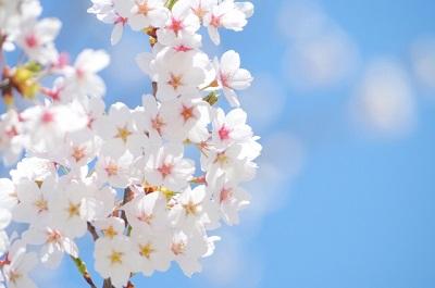桜咲く.jpg